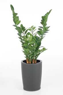 Zamioculcas zamiifolia im Kunststoffkübel BOTANLUX